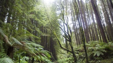 The Otway Ranges in western Victoria are thousands of kilometres from the redwoods' natural home.