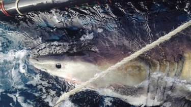 Smart drumlines allow for key shark species to be tagged, boosting researchers' understanding about the apex predators.