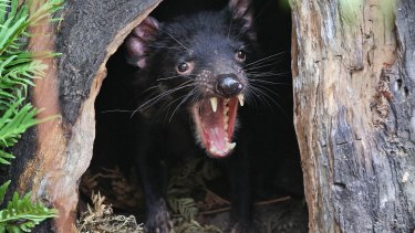 A Tasmanian devil called Big John growls from the confines of his new tree house as he makes his first appearance at the Wild Life Sydney Zoo.
