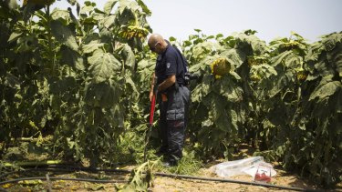 Israeli police explosive experts are photographed in a sunflower field where a rocket landed near Ashkelon in southern Israel on Sunday.