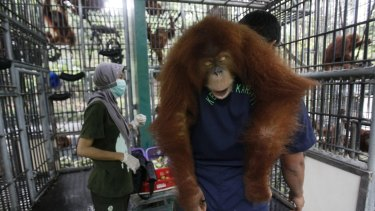 A worker on the Sumatran Orangutan Conservation Program carries a tranquilised animal as it is prepared to be released into the wild last year.