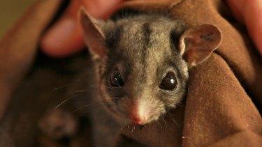 A Leadbeater's possum.