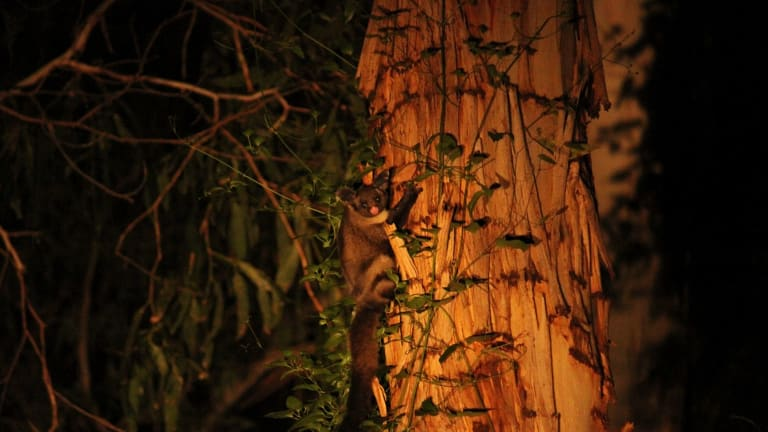 Activists have launched legal action against VicForests, alleging it is not properly protecting species such as the Yellow-bellied Glider are to be logged