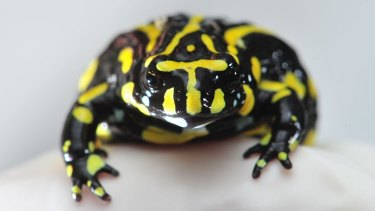 The endangered southern corroboree frog.