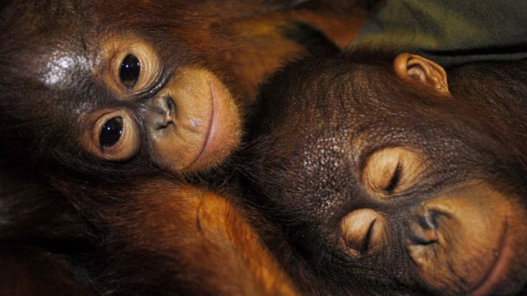 BHP says no orangutans have been found on its leases but environmental groups believe the project will destroy habitat for the endangered animals.