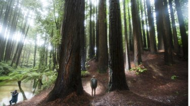 Tom Cowie among the redwoods in the Otway ranges.