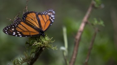 The number of monarch butterflies reaching their wintering grounds in central Mexico this year may be three or four times higher than the previous year.