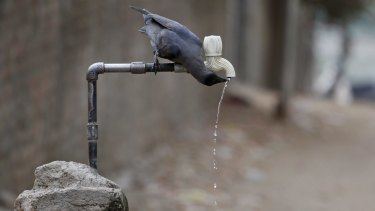 A crow drinks water from a tap on a hot day in Ahmadabad, India, last week.