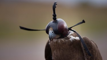 The hooded black falcon after being carefully lifted out by ornithologist Martin Scuffins.