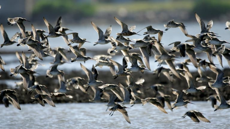 Under pressure: bar-tailed and black-tailed godwit in the Kooragang Nature Reserve at Stockton.
