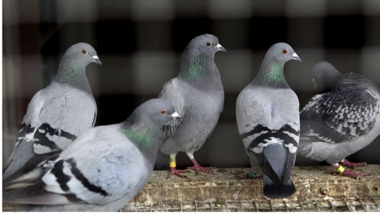Pigeons are not so bird-brained, science finds.