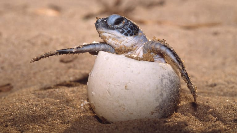 Turtles, such as this leatherback, adjust the gender of their offspring according to temperatures.