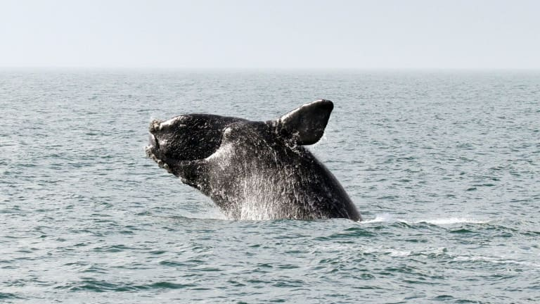 """Whales can act as a """"distribution pump,"""" transporting vital nutrients like phosphorus from the ocean floor to the surface, however their ability to do so has reduced by more than 75 per cent."""