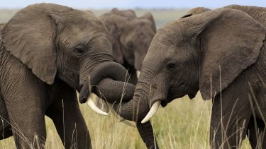 Elephants play at the Maasai Mara game reserve, about 300 km south-west of Nairobi.