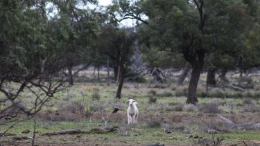 "Property owned by Barnaby Joyce near Gwabegar, described by locals as ""mongrel country"", fit for goats and not much else."