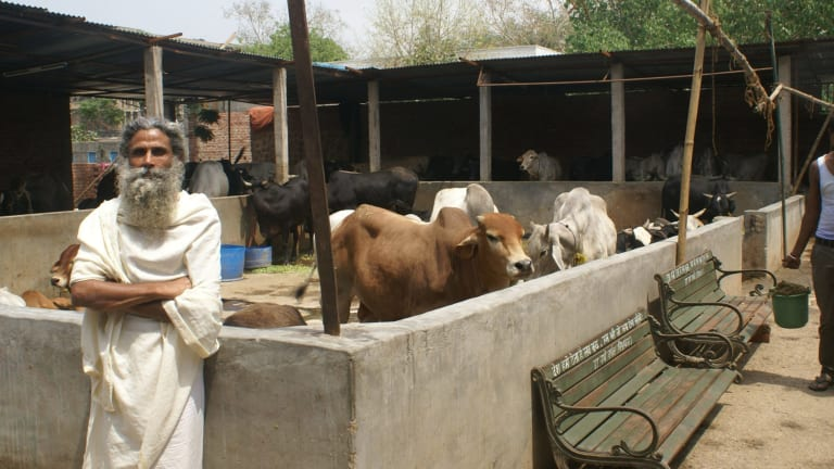 Radha Kant Vats at his cow shelter in New Delhi.