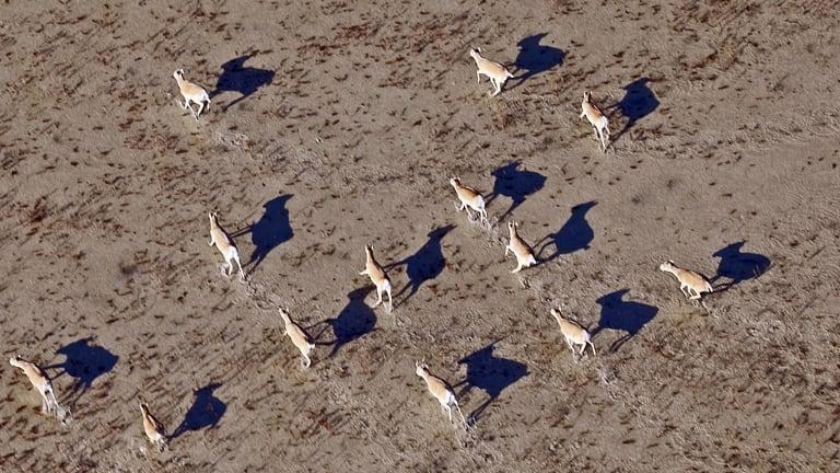 A 2010 photo of saiga antelopes on a plain in the Central Asian republic of Kazakhstan.