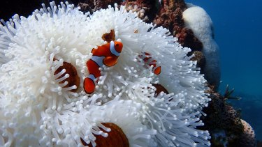 Corals aren't the only organisms on the reef that suffer from bleaching – this anemone on Farquharson Reef, east of Mission Beach on the GBR, would normally have colouring similar to a healthy coral polyp.