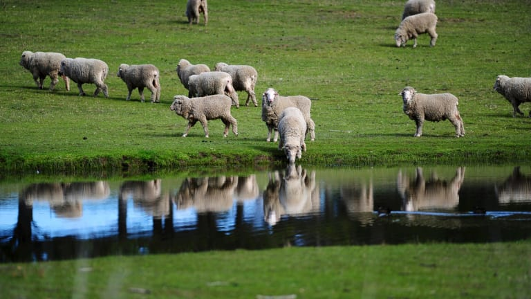 Charleville locals hope the town can once again ride on the sheep's back.