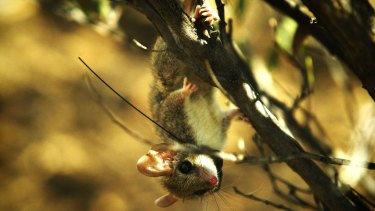 A red-tailed phascogale (with a monitor around its neck).