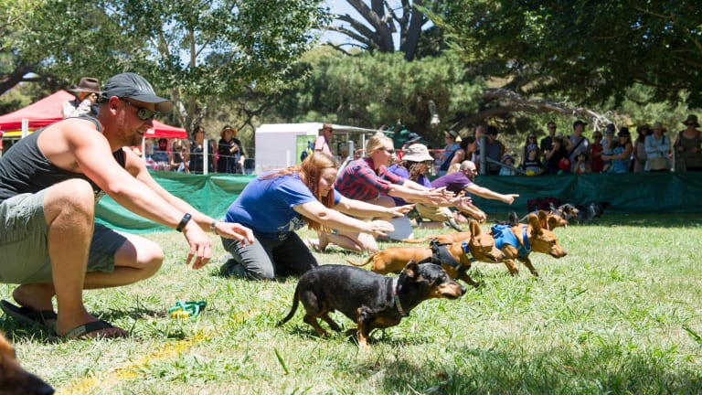 Action from the Dachshund races at the Bungendore show.