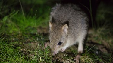 An eastern bettong at Mulligans Flat.