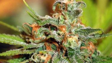 A close-up of a cannabis sativa plant, used to make Sativex spray.