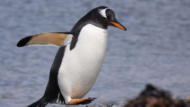 A gentoo penguin on the Kerguelen Islands.