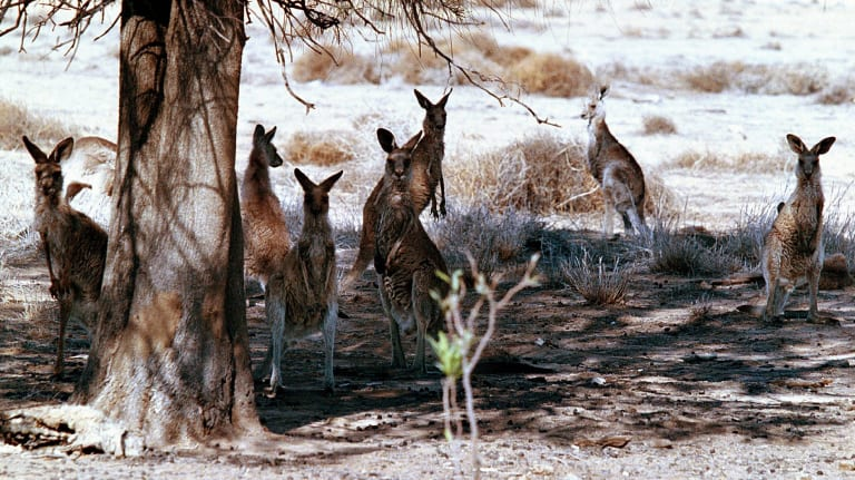 Kangaroos occasionally outnumber the two or three people needed to run the plant.