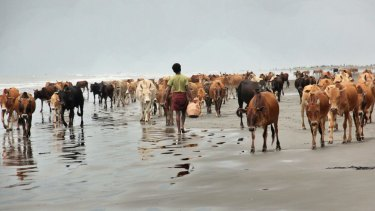 Cattle from abandoned Rohingya villages walk along a beach in southern Maungdaw, Rakhine state, after fleeing burning villages.