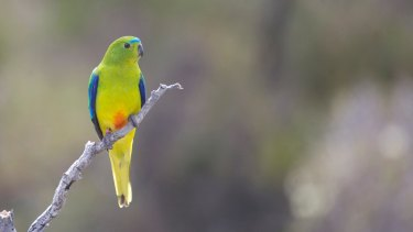 A male orange-bellied parrot in the wild – a sight that may soon disappear.