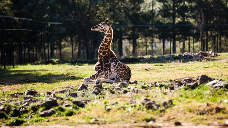 Baby giraffe Kebibi is one of the new residents at Canberra's National Zoo and Aquarium.