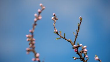 White peach blossoms on Katie and Hugh Finlay's property, Mount Alexander Fruit Gardens, at Harcourt.
