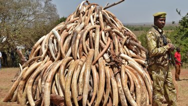 A Kenya Wildlife Service officer next to the pile of contraband ivory.