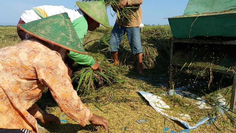 Farmers from Tegaldowo village in Rembang harvesting their crops.