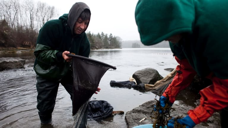 There has been a gold rush-like race in Maine and the wider US East Coast to catch the eels, which have skyrocketed in price to upwards of $US5000 per kilo, mainly in sales to overseas Asian markets.