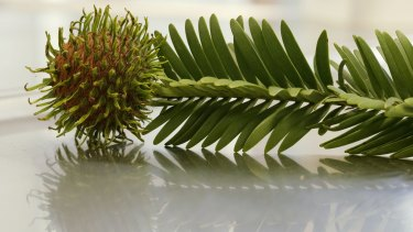A Wollemi pine cone.