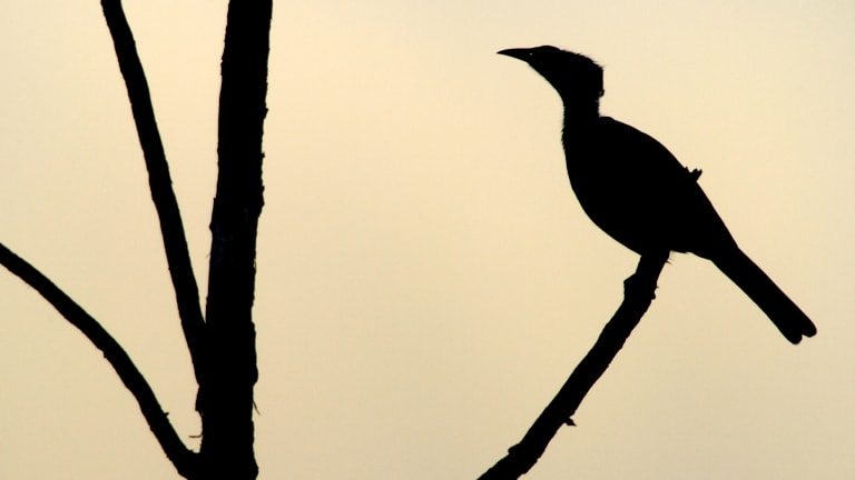 The central thread of the film is the chauka, a native bird sacred in the local indigenous culture.