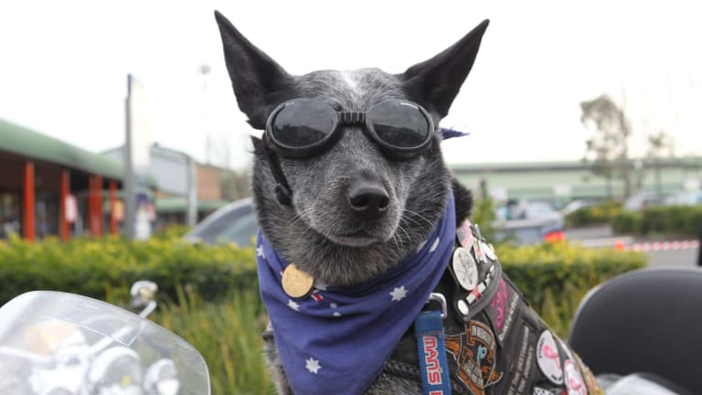 Bundy the cattle dog has now clocked up one million kms behind the wheel of a motorbike to raise funds for charity.