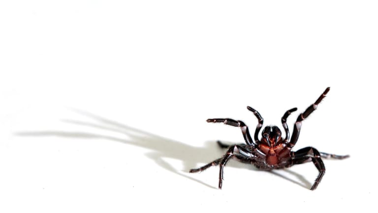 A female funnel web spider.