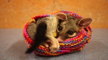 Samson the common brush-tailed possum inside a hand-knitted pouch, recovering from a punctured lung caused by a dog attack.