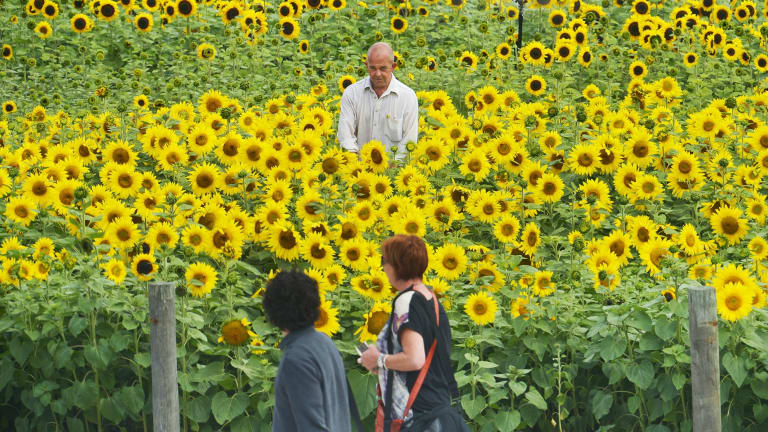 """Labour of love: Local Morwell volunteer Lynton Azlin looks after a patch of sunflowers planted as a part of the """"get sunflowered"""" project. This land has been vacant for 30 years."""