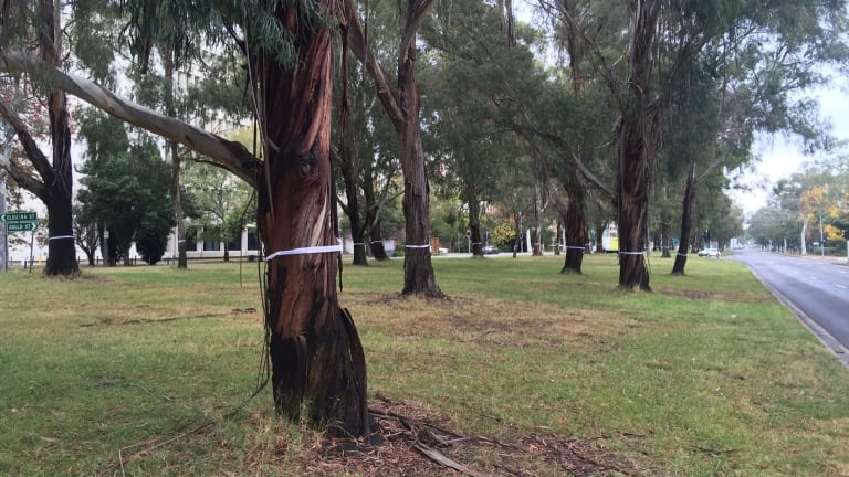 CanTheTram protesters put white ribbon around Northbourne Avenue trees slated to be remove to make way for light rail.