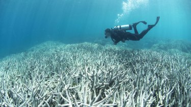 A diver checking out the bleaching at Heron Island on the Great Barrier Reef.