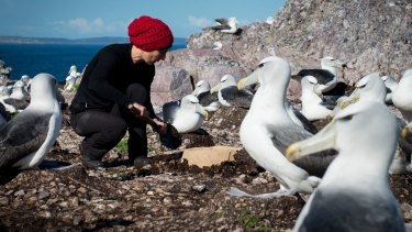 Rachael Aldermen, from Tasmania's Department of Primary Industries, Parks, Water and Environment, installing an artificial nest on  Albatross Island in June.