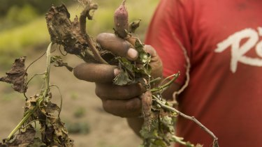 The hot, dry conditions are destroying crops, including these sweet potatoes in Kanma village.