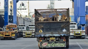 "Australian cattle exported to Indonesia are traditionally ""feeder"" rather than ""slaughter"" cattle."