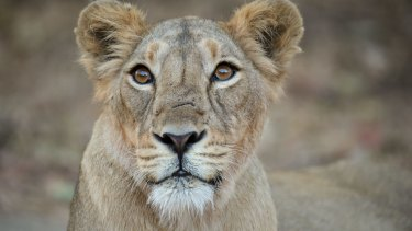 There are now so many lions in Gir that it is being suggested that some be relocated - a move opposed by locals despite the loss of cattle and one or two human deaths a year.