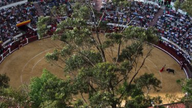 A bullfighter challenges the first bull of the afternoon at the Santamaria bullring in Bogota.