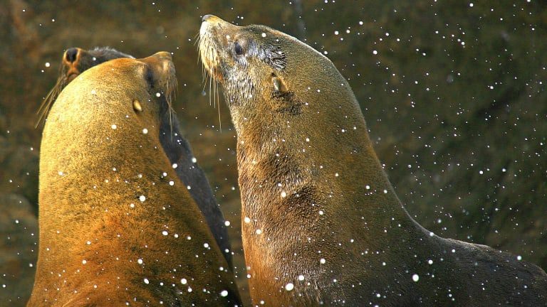 Vulnerable: fur seals are among the wide variety of marine life that are injured or maimed by discarded plastics and fishing line.